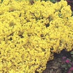 Galleria fotografica Fiore - Kings Seeds - Confezione Multicolore - Alisso Saxatile Compactum