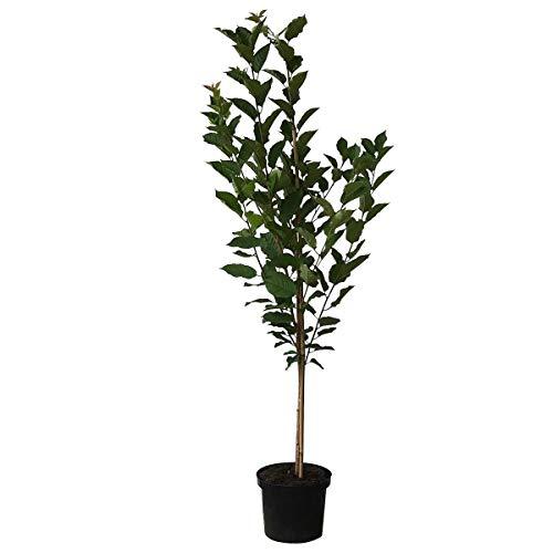Müllers Grüner Garten Shop Vowi (S) Sauerkirsche gut steinlösend Buschbaum 120-150 cm im 10 Liter Topf wurzelecht