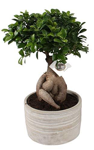 FloraStore - Bonsai Ficus ginseng dans un pot en béton de 25cm (rayé) (1x), Plante d'Intérieur