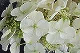 Hortensie, Eichenblättrige Hortensie 'Ice Crystal' - starke Pflanze im grossen 5lt Topf