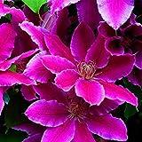! Vendita 100 Clematis Bonsai Clematis Montana Mayleen Giardino Rosa Vite pianta fiorisce Flores Vines Twining impianto di scansione: 12