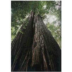 TROPICA - Küsten - Mammutbaum (Sequoia sempervirens) - 50 Samen