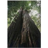 TROPICA - Costera - Árbol De Mamut (Sequoia sempervirens) - 50 Semilla