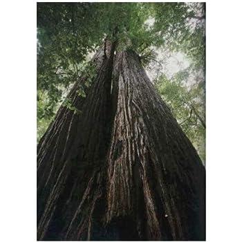Sequoia sempervirens Küsten-Mammutbaum winterhart 35 Samen Küstenmammutbaum