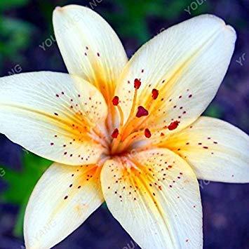 Daisy-04-farbe (VISTARIC 200pcs Seltene Farben Afrika Gazania Sunflower Medaille Daisy Art Chrysanthemum Topf Frische Blumen Samen In Bonsai Topfpflanzen Chrysanthemum Samen)