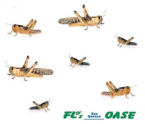 Heuschrecken Wanderheuschrecken MIX 100 Stück Futterinsekten Reptilienfutter Futtertiere