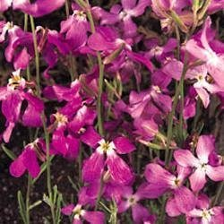Kings Seeds Gemshorn, Matthiola Bicornis, nachtduftend, Blumen, Pictorial Packet von Kings Seeds auf Du und dein Garten