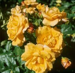 'Postillion' -R-, Strauchrose in A-Qualität Wurzelware, ADR-Rose