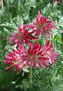 Shoppy Star Shoppy étoiles: Anthyllis Montana Rubra (1000 graines) Kindney vesce, Mesdames Fingers. Easy grandir
