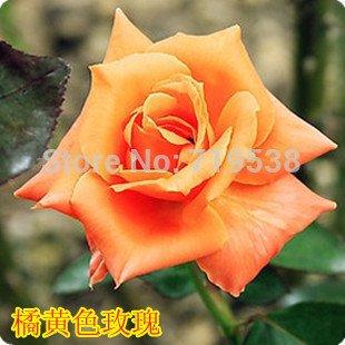 new-home-gartenpflanze-50-samen-photinia-fraseri-frasery-serrulata-red-robin-tipluohu-blumensamen