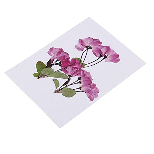 Fenteer 3 Stück Sakura Natürliche Echte Gepresste Blume Verzierungen Kartenherstellung Scrapbooking