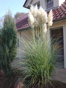 Pampasgras 'Weiß' - Cortaderia selloana 'Weiß' - Schönes Ziergras von Native Plants von Native Plants bei Du und dein Garten