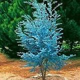 20 beeindruckende Eucalyptus gunnii Cider Gum Eucalyptus Kräutersamen, wunderschöne Farbe