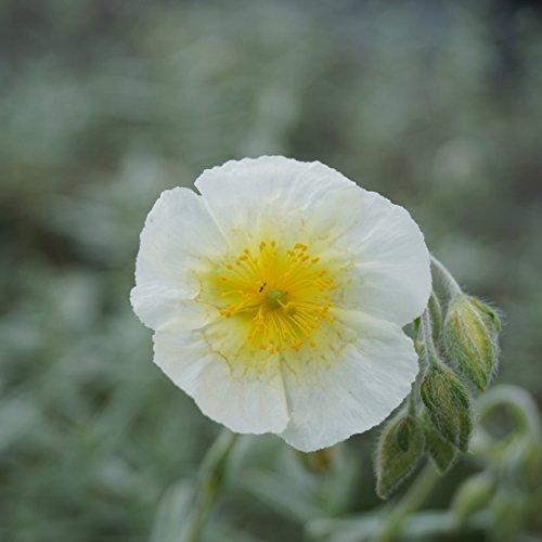 Blumixx Stauden Helianthemum Hybride 'Snow Queen' - Sonnenröschen weiß