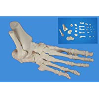 Wellden Medical Anatomical Foot Skeleton Model,disarticulated and Assembled By Magnets, Life Size