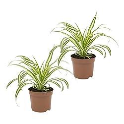 Dominik Blumen Und Pflanzen Dominik Blumen Und Pflanzen Grünlilie Ocean, 2 Zimmerpflanzen, Gute Ampelpflanzen, 10-12 Cm Topf