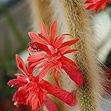 VISA STORE colademos frescas Hildewintera (mono) semillas. N con beautifuls y largo tallos