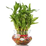 Going Greens 2 Layers Lucky Bamboo Plant (with Free Glass Pot)