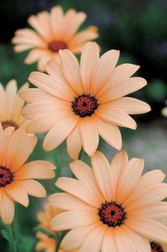 2017 nouvelles 100 Pcs / sac graines Bonsai chrysanthème Daisy Graines de fleurs Balcon Bureau d'intérieur Jardin des plantes en pot 13