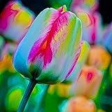 Mymotto 100pcs / bag Rainbow Tulip Bulbs Seeds Giardino Fiore Pianta Sementi