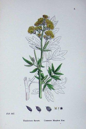 Botanik Pflanzt Gemeinen Wiesenraute C1902 Thalictrum
