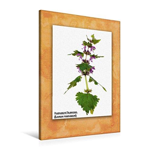 Calvendo Premium Textil-Leinwand 60 cm x 90 cm hoch, Purpurrote Taubnessel (Lamium purpureum) | Wandbild, Bild auf Keilrahmen, Fertigbild auf echter Leinwand, Leinwanddruck Natur Natur