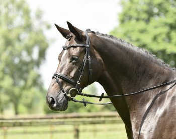 Busse Trense Single-Soft, Warmblut, schwarz/Strass-schwarz