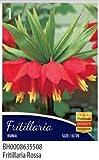 Bulbos de flor de varias especias y colores en sobre, fritillaria rossa, 1 bulbo