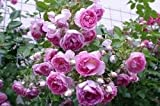 'Jasmina' -R-, Kletterrose, ADR-Rose im 4 L Container