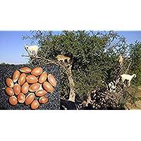 Potseed Germinación Las Semillas: 5 Semillas: Semillas Argania Spinosa Frescas, Aceite de Argán, Semillas de argán, árbol del Argan, Cosecha 09/18