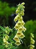 100pcs / bag comune Foxglove Flower Bonsai Semi 100% veri semi di Digitalis Purpurea domestico fiore giardino in vaso pianta facile da coltivare 7