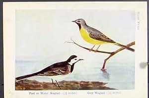 Water-Gescheckte pied wagtail Grey Uferschwalbe House-Bird Print