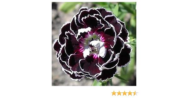 Dianthus Heddewigii Velvet Lace 35 Seeds Striking Flower