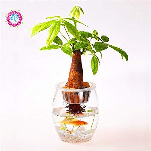 Casavidas 1 / bag pachira macrocarpa, pachira, pachira aquatica, Bonsai-Baum, Topfblume Geld Baum Hausgarten Pflanze: 4 - Pachira Aquatica Bonsai