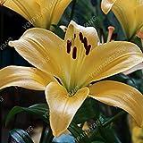 vegherb Bleu: Vente Hot 200Pcs Lily Graines Lily Fleur (Non Lily bulbes) Lilium Graines de Fleurs Faint Parfum Bonsai Plante en Pot pour Jardin Plantes Bleu...