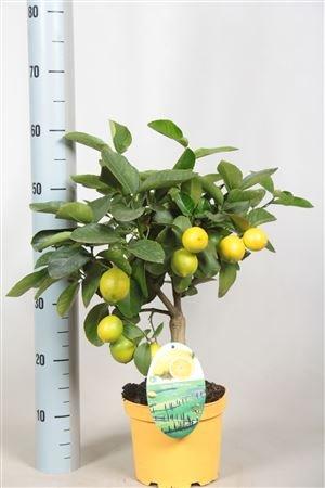 beautiful-lemon-trees-with-lemons-on-three-sizes-fruit-trees-indoor-plants-60cm-lemon-tree
