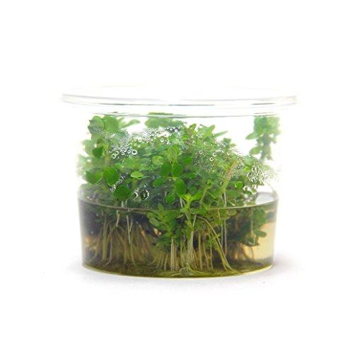 Dennerle Plant It Invitro Live Aquarium Plant - Rotala indica - In-Vitro 3