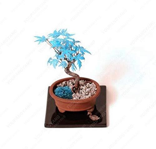 ShopMeeko SEEDS: Seltene Rote Bonsai Pflanzen 20pcs Bonsai-Baum-Pflanzen-Topf-Klage für DIY Hausgarten japanische Bonsaipflanzen Balkonpflanzen: Violette (De Violetta Juegos)