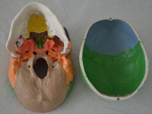 Zoom IMG-3 s24 2134 cranio modello didattico
