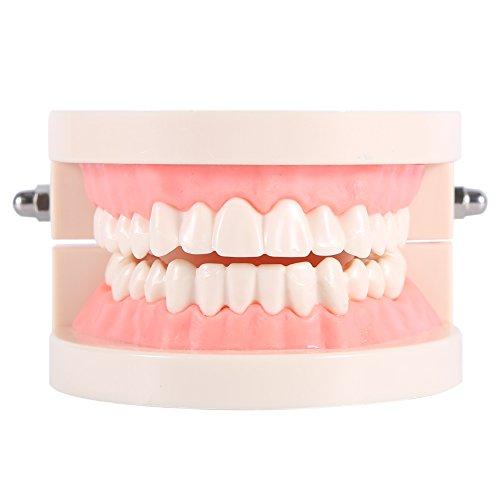 Modelo dental de la enseñanza de los dientes del adulto del dentista del modelo del cuidado dental...