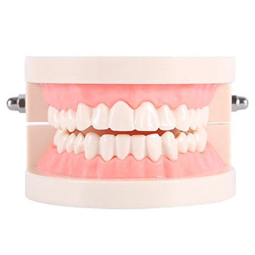 Yosoo 1pc PVC Zahnpflege Modell Zahnarzt Adult Teeth Standard Lehrmodell