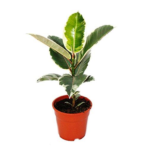"""Weissbunter Gummibaum - Ficus elastica """"Tineke"""" - 17cm Topf"""