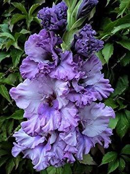 Potseed 2ST Gladiolen Zwiebeln, Gladiole Blume (Nicht Gladiolen Samen) Schöne Blumenzwiebeln Symbolisiert Nostalgie, Hausgarten Pflanze 8