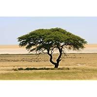 Schirmakazie Acacia tortilis 100 Samen
