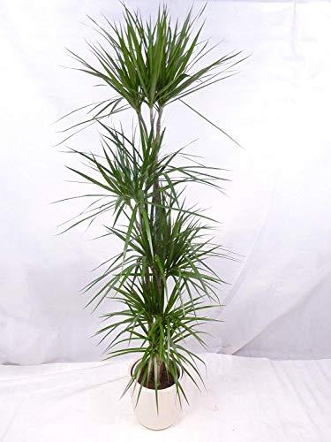 [Palmenlager] – Dracaena marginata 190 cm / 5er(!) Tuff // Drachenbaum