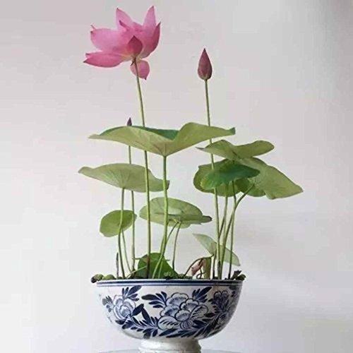 Coco 10pcs/Sac Fleurs Graines Bowl Fleurs Plantes Graines Jardin Plantation Graines