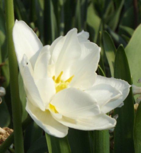 """Gefüllte Tulpe"""" Global Desire"""" (5)"""