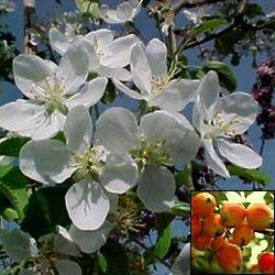 Beautiful small-garden Malus Crab Apple tree 'Wedding