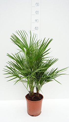 Palme, Chamaerops humilis, Zwergpalme - 80-90cm Topf Ø 21 cm - 5Ltr