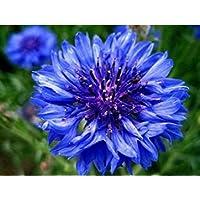Weavimo Cornflower - Centaurea Cyanus - Wildflower 150 Semillas